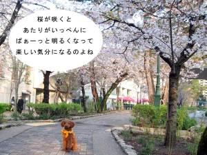 0330sakura1
